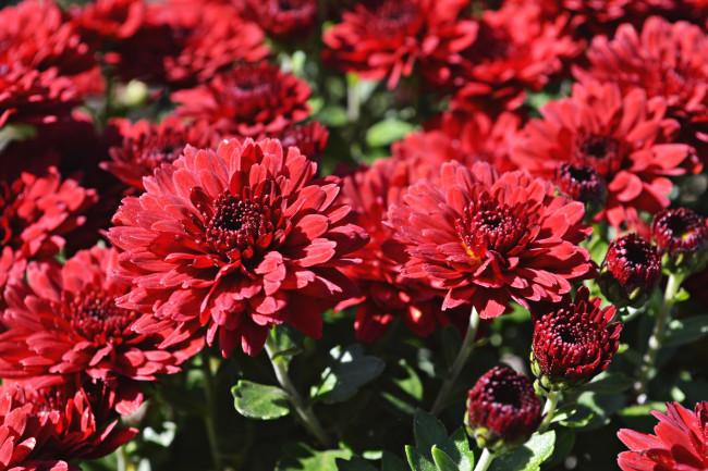 Цветы красные хризантемы